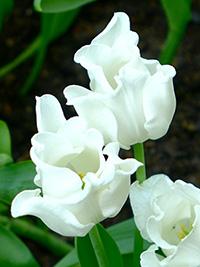 Single Tulip White Liberstar