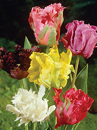 Tulip Parrot Mixed