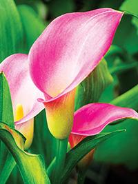 Zantedeschia Pink Hearts